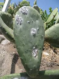Homeopathic Remedy Coccus Cacti